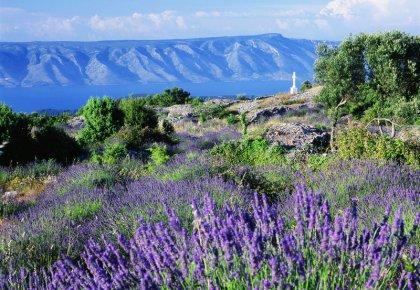 Lavendelfelder auf Hvar (big)
